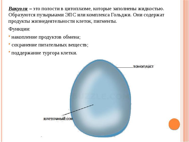 Вакуоль — особенности строения и функции вакуоля