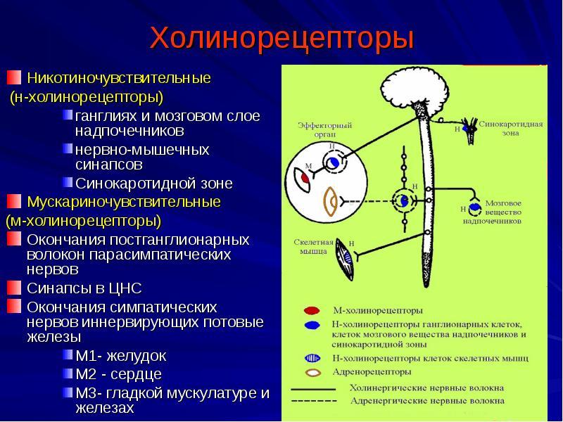 Нейромедиатор ацетилхолин: на страже здравого ума и твердой памяти — жизнеисцеляющая психология