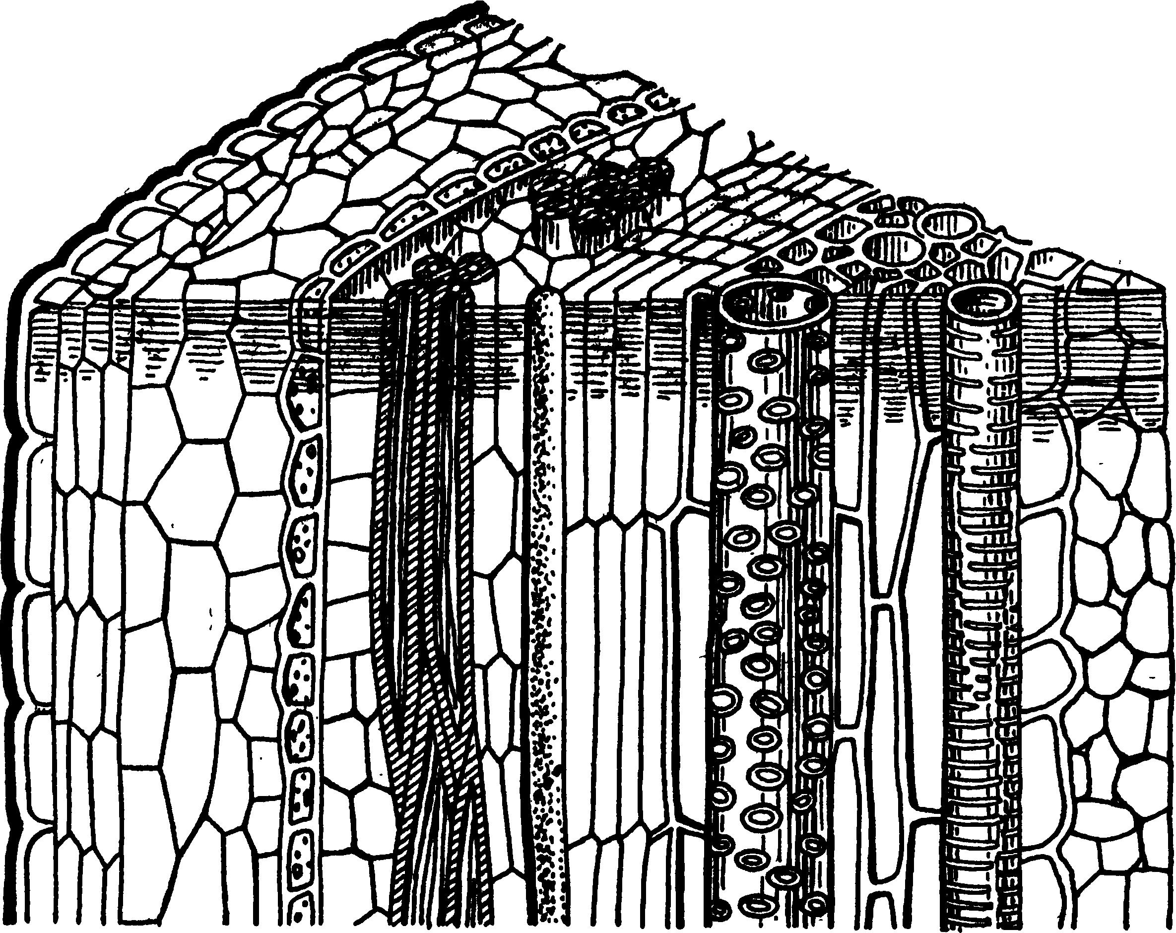 Камбий