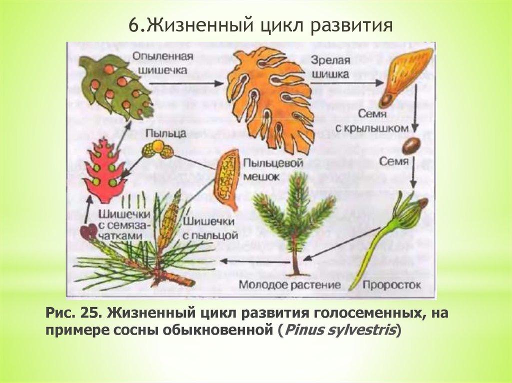 Голосеменные и покрытосеменные растения: органы, способы размножения, чем отличаются и в чем сходство