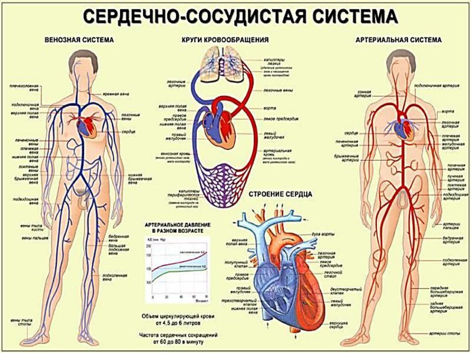 Венозная система человека: анатомия и функции, заболевания