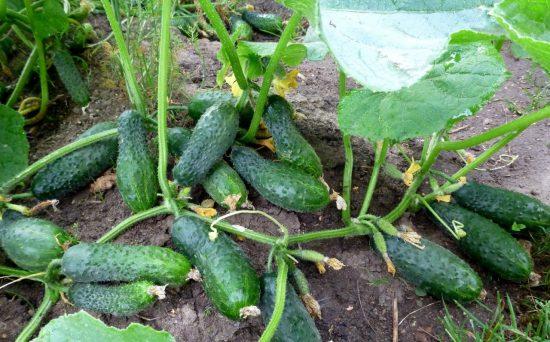 Мочевина для огурцов - применение удобрения на огороде
