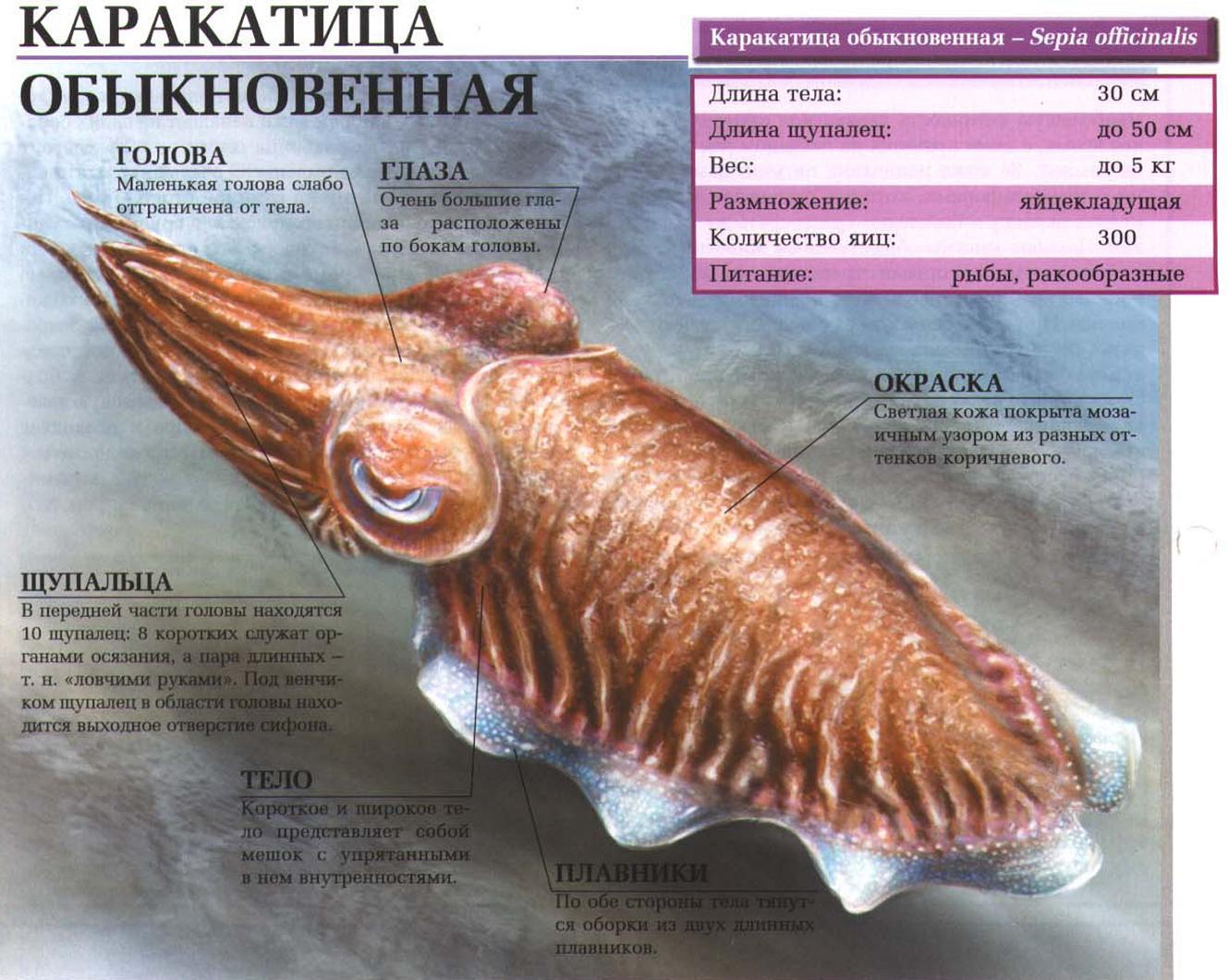 Как правильно есть каракатицу. что такое каракатица | здоровье человека