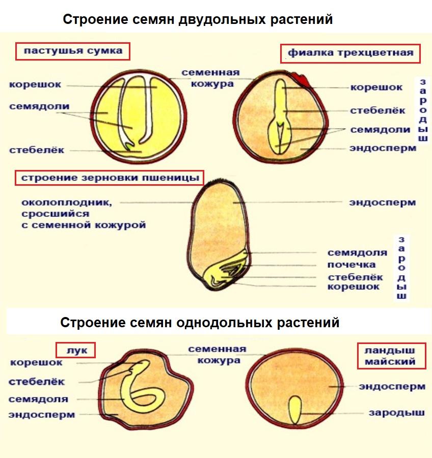 Вторичный эндосперм — википедия. что такое вторичный эндосперм