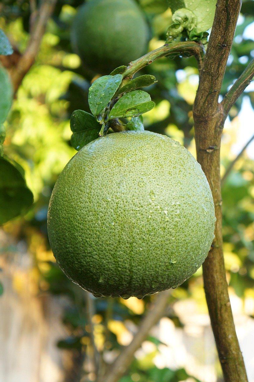 Помело (фрукт) — википедия с видео // wiki 2