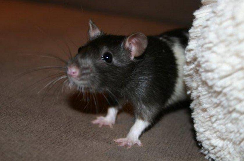 """Как выглядит обычная крыса - служба дезинфекции """"экоконтроль"""""""