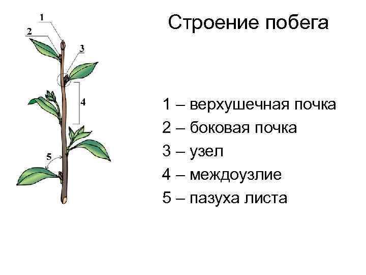 Что такое почка у растений? определение, виды, функции