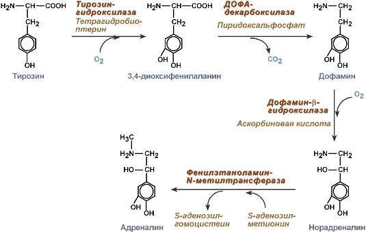 Катехоламины: адреналин, норадреналин, дофамин и лекарства на их основе