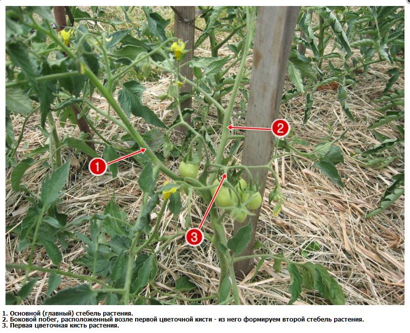 Пасынкование помидор в теплице пошагово для начинающих