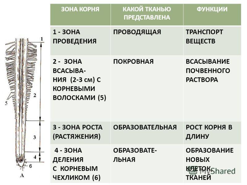 Особенности строения и функция корневого чехлика у растений