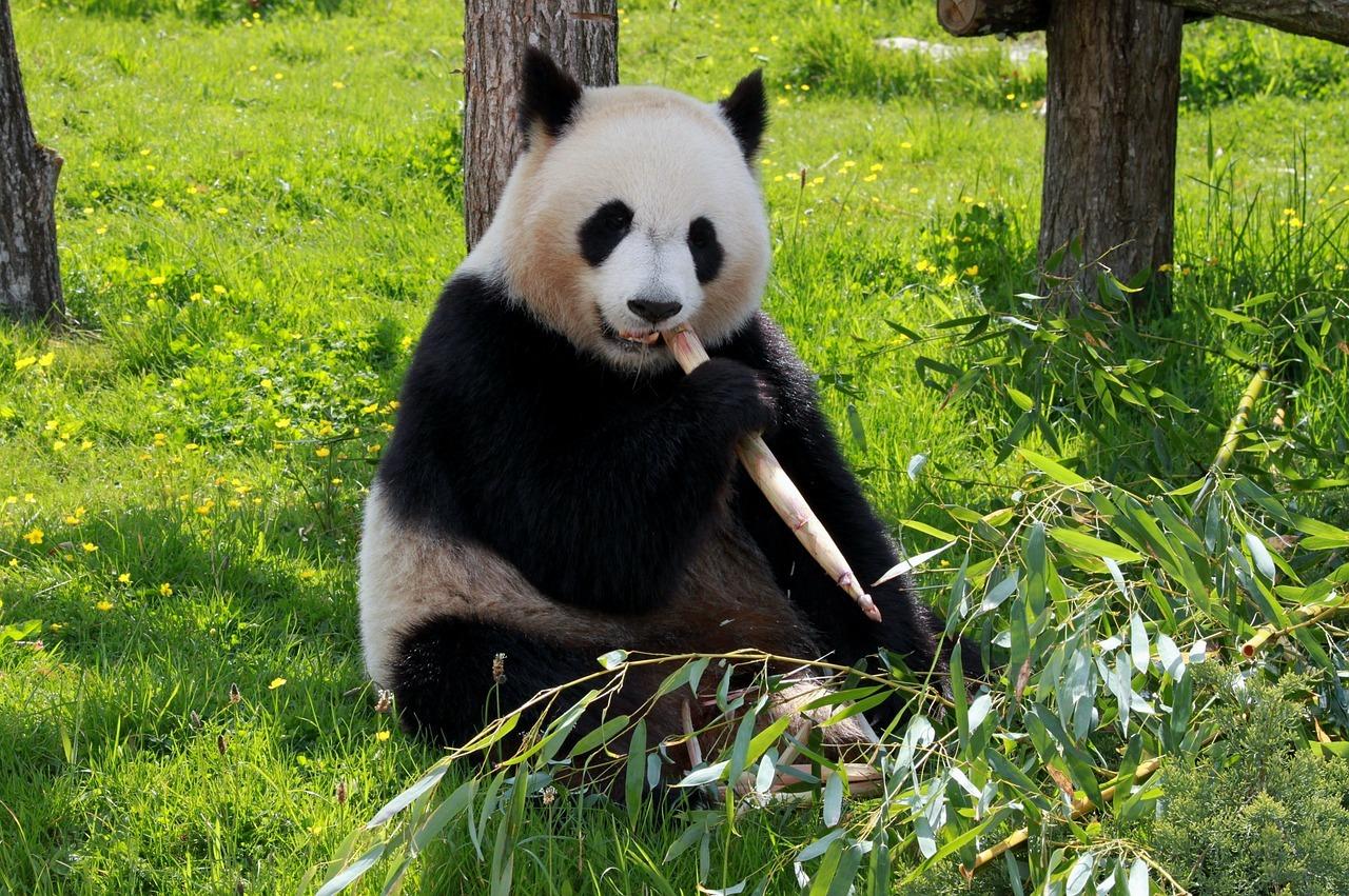 Большая панда: описание, среда обитания, сколько живут