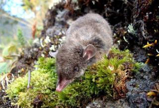 Хохотун черноголовый: описание вида, фото, где обитает