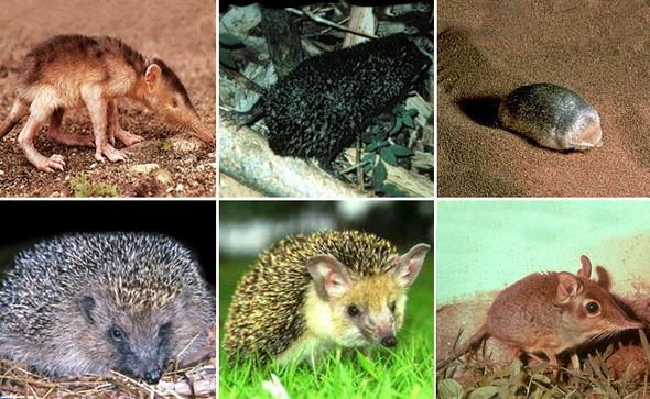 Каковы характерные особенности яйцекладущих, сумчатых и плацентарных млекопитающих? - универ soloby