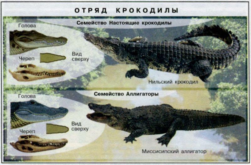 Крокодилы и аллигаторы - виды, названия, фото и описание, видео, питание и размножение