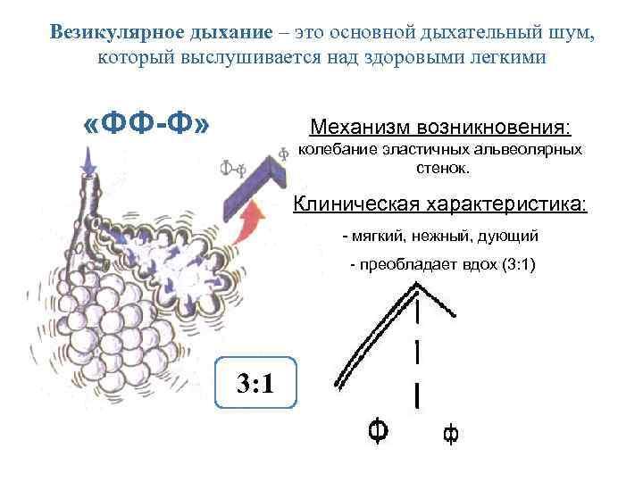 Что такое везикулярное дыхание - ragoza.ru