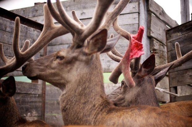 Панты алтайского марала – как заготавливают, для чего применяют молодые рога оленей