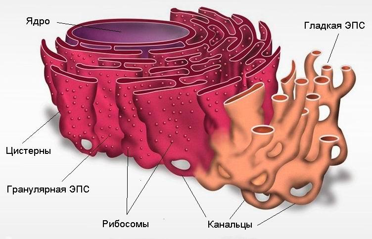 Функции эпс в растительной клетке. эндоплазматическая сеть - стоматолог 32