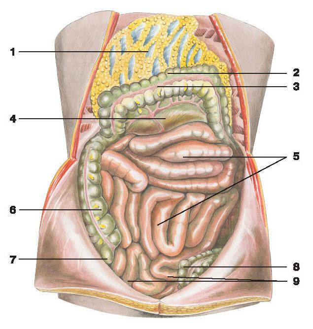 Что такое сальник в брюшной полости: большой и малый