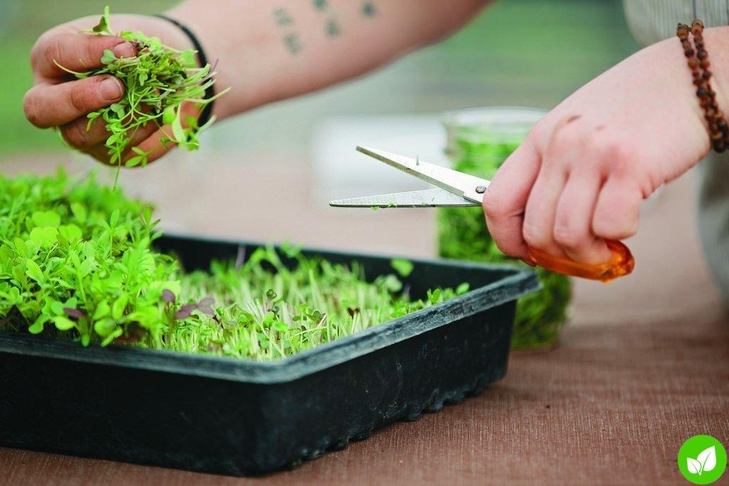 Микрогрины— маленькие растения с большой пользой