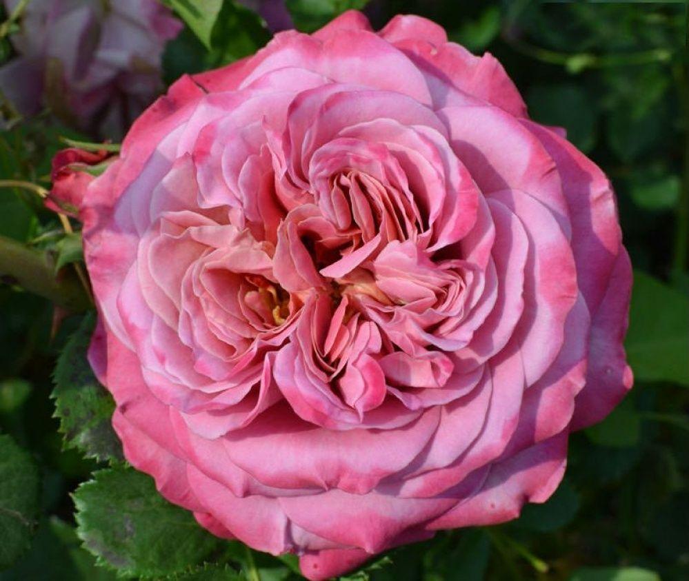 Розы шрабы - что это такое, описание, посадка, уход, сорта и отзывы