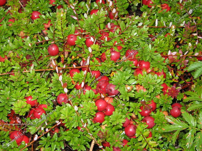 Клюква - описание растения и ягод, полезные свойства, противопоказания, состав, калорийность, фотографии
