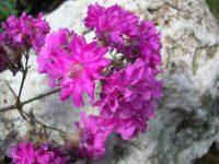 Смолка (вискария): описание, фото, уход, размножение, выращивание