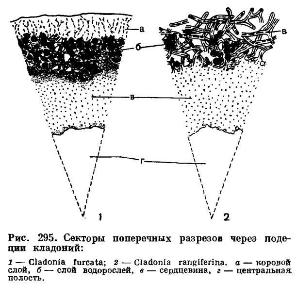 Что это - слоевище? морфология и функции таллома