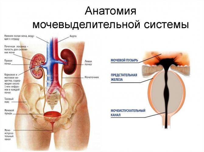 Анатомия мочеточника у женщин: строение, функции, топография устья, фото