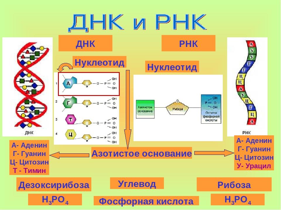 Рнк-полимераза — википедия с видео // wiki 2
