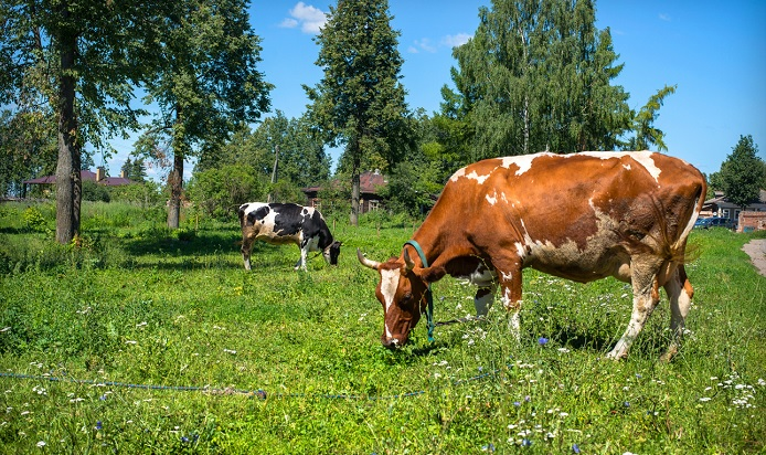 Нетели — что это такое, как определить и узнать стельность коровы — выращивание телки, возраст и содержание беременной буренки — moloko-chr.ru