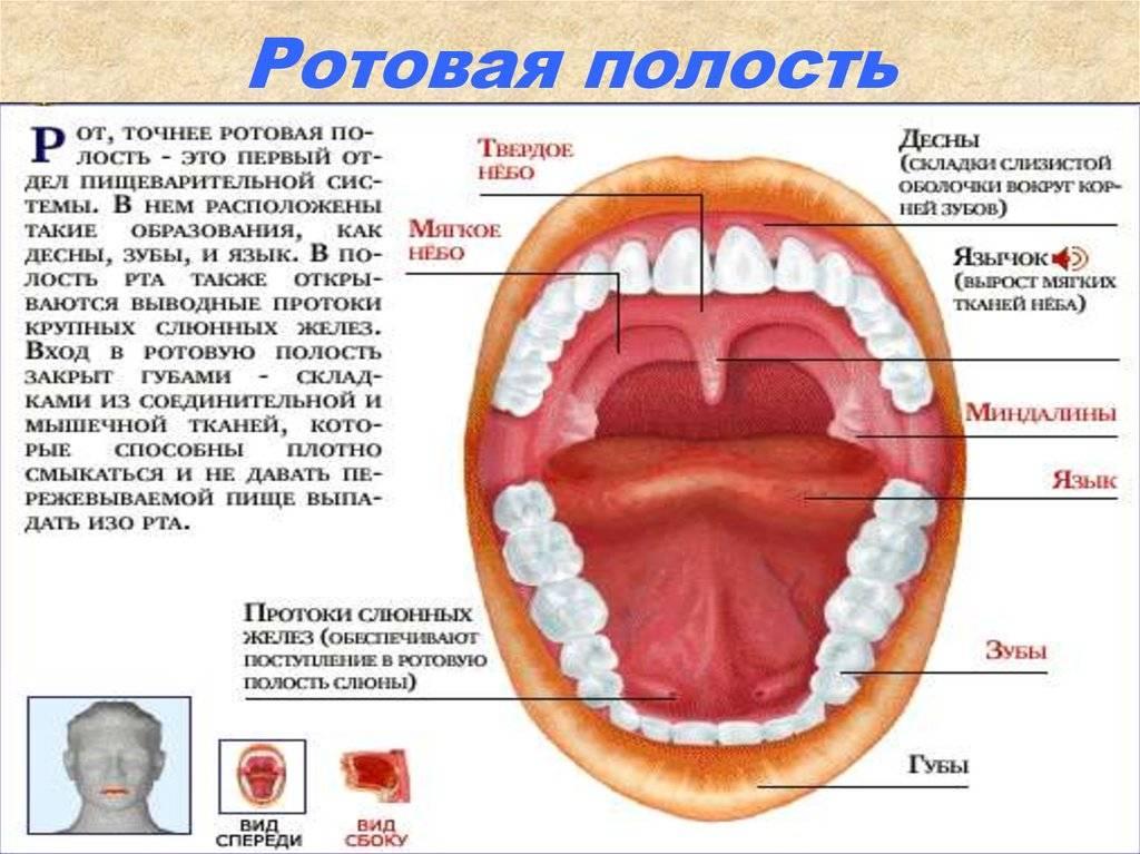 Альвеолы во рту – что это такое; строение альвеол, их функции и патологии
