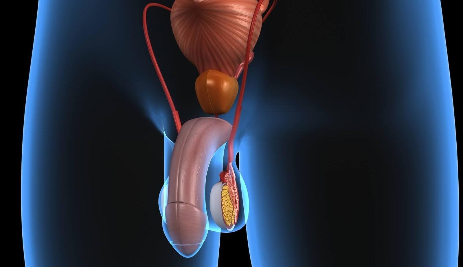 Строение мужских половых органов фото