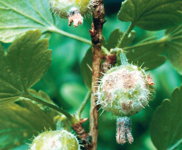 Боремся с белым налётом на ягодах смородины – обработка и спасение
