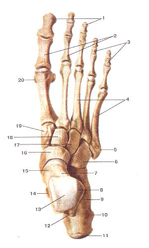 Фаланга (анатомия) — википедия. что такое фаланга (анатомия)