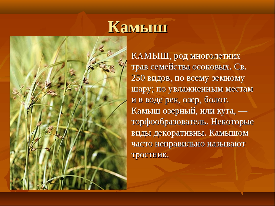 Камыш: описание растения и его использование во флористике