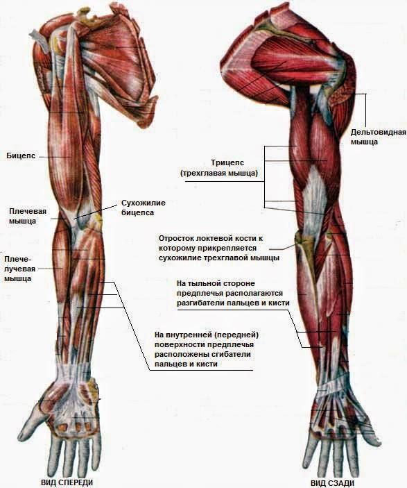 Мышцы руки. плечевая зона.узнай все о мышцах плеча и их фукциях.
