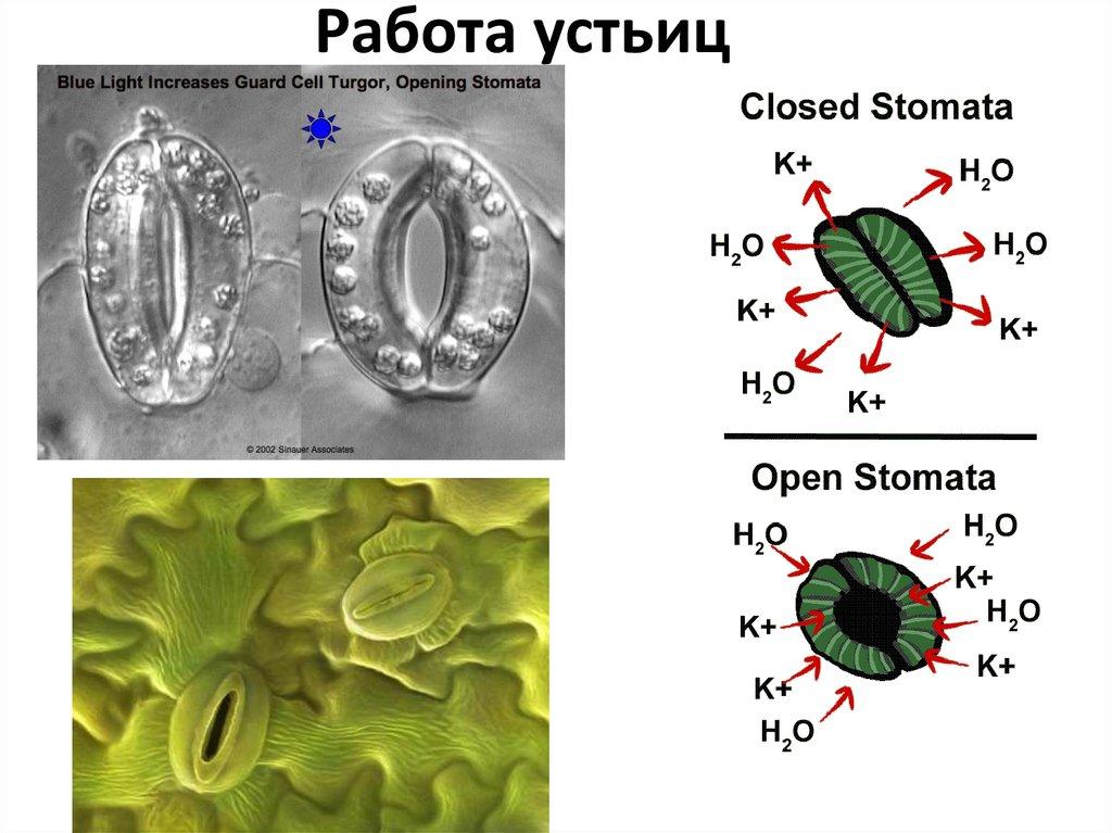 Устьица у растения: определение, расположение, функции. значение устьиц в дыхании растений