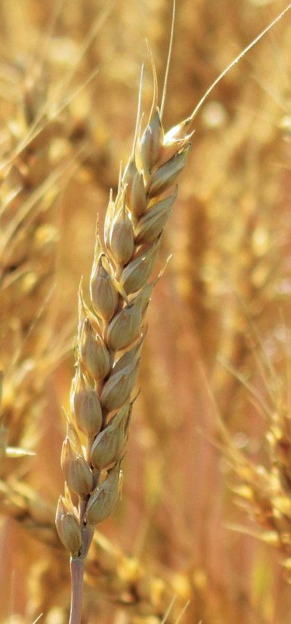 Что такое фуражная пшеница и где она применяется