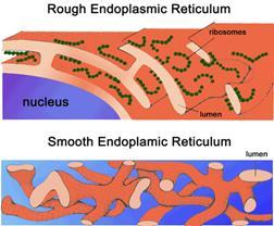 Лекция № 7. эукариотическая клетка: строение и функции органоидов