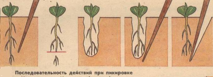 Что такое пикировка растений
