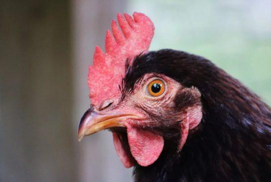 Что такое курица и откуда она взялась – история происхождения домашней курицы и ее характеристики