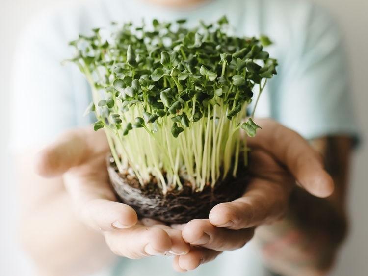 Выращивание микрозелени как идея для бизнеса