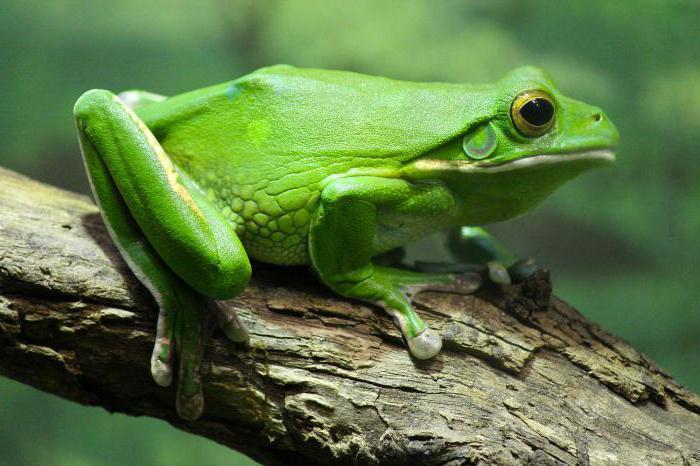 Лягушка и жаба: это земноводные или пресмыкающиеся?