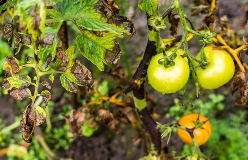 Как избавиться от фитофторы на помидорах в теплице и открытом грунте