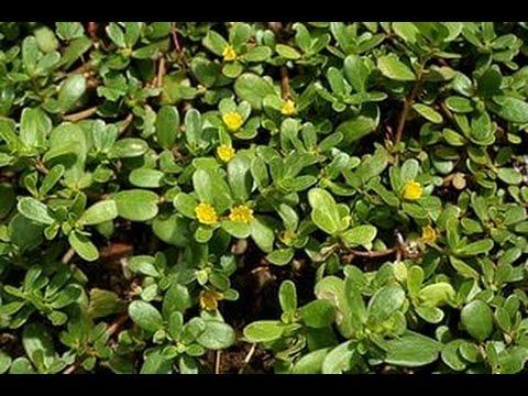 Что будет, если съесть портулак огородный: польза и вред ползучей травы