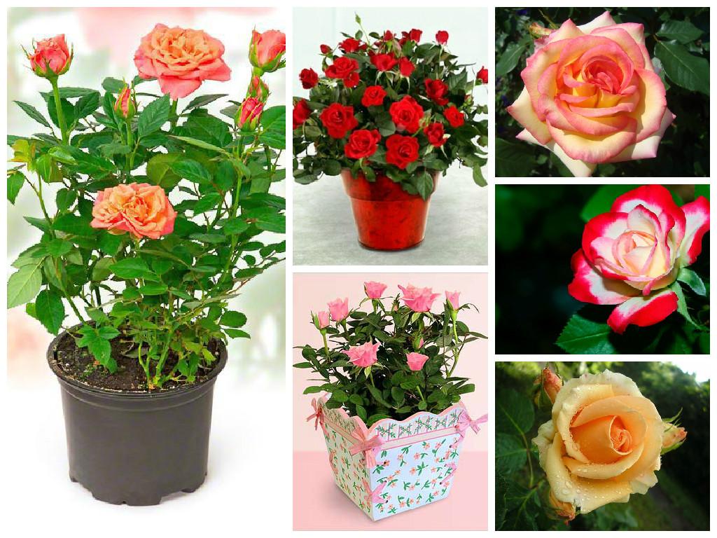 Полиантовые розы и их сорта на фото: выращивание, посадка и уход