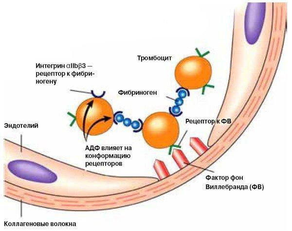 Болезнь виллебранда - причины и признаки появления, диагностика и лечение болезни