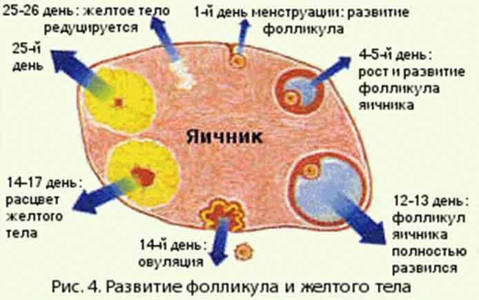 Антральные фолликулы: что это такое в яичниках, их норма и подсчет при узи, почему их может быть мало