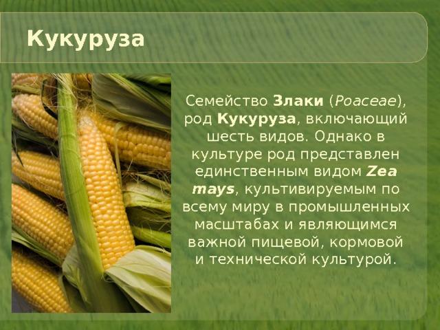 Маис (растение) википедия
