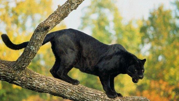 Black panther / t'challa (черная пантера / т'чалла)